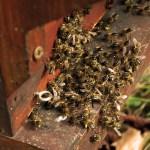 Attention abeilles en danger