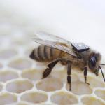 Un sac à dos pour abeilles pour expliquer leur déclin
