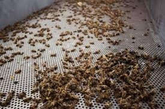 desaparición de abejas