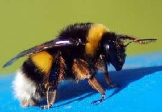 abejorro - España responde al SOS de las abejas 060419 - El Apicultor Español: Actitud y Aptitud Apícola