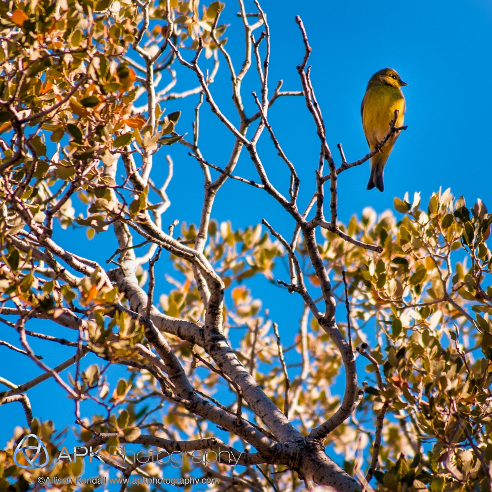 Small yellow songbird