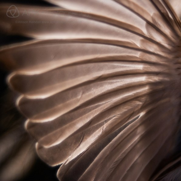 Detail of the wing feathers of a small finch, against a black background