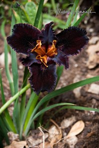 WM_California native iris, black (1)