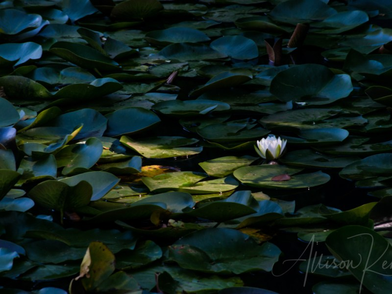 Solitary white water lily flower illuminated by sunlight against dark shadowy lush green leaves