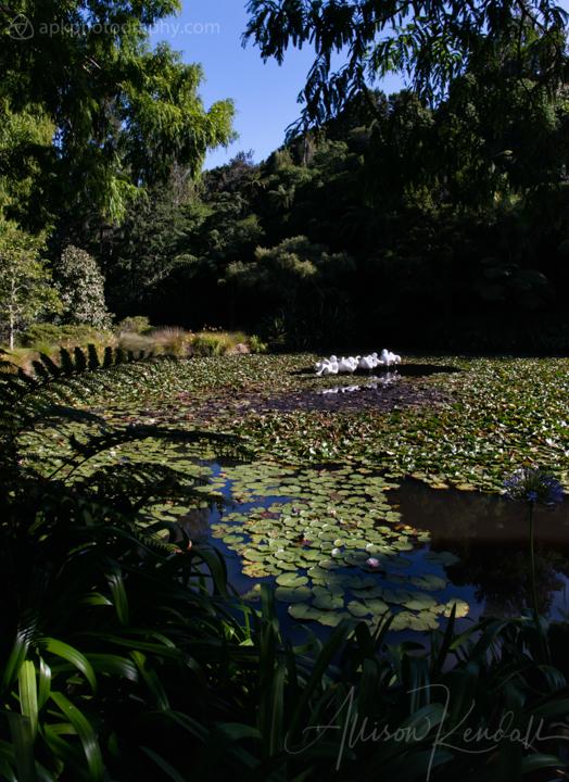 Pond at Pukekura Park, New Zealand