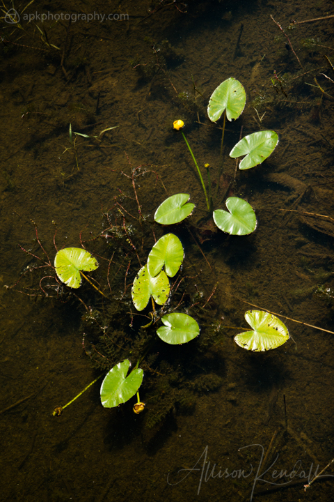 'Nuphar' pond lily, aquatic plant Manitoba, Canada
