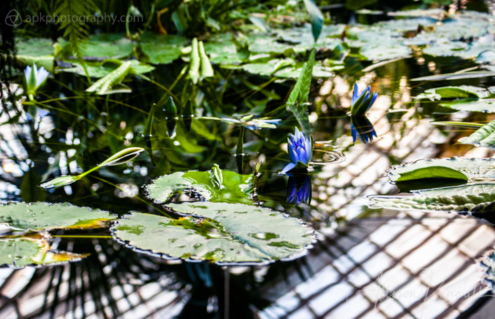 An indigo water lily flower in a pond of green leaves and reflections at the Conservatory of Flowers, San Francisco