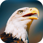 Download Eagle Wallpapers HD & 4k Backgrounds 2.0 APK For Android