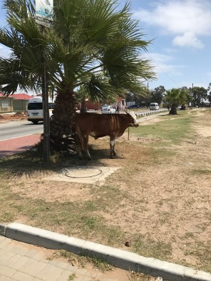 Cow on the streets of Walmer