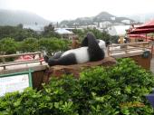 Panda eats meat too.