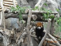 Cute face - Red Panda