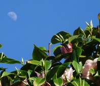 2016 03 16 n Vancouver BC camellia flower tree moon