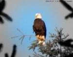 2016 03 27 ☼ Vancouver Canada Eagle 1