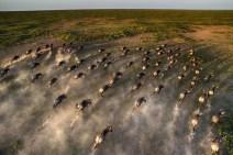 Wildebeeste Maasai Mara