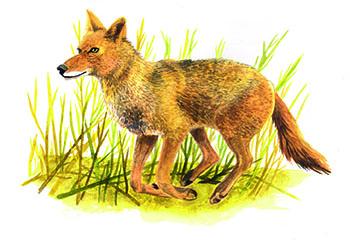 Entdecke dein Krafttier - Kojote