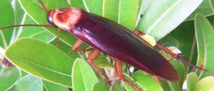 Απολυμάνσεις Γλυφάδα - κατσαρίδα