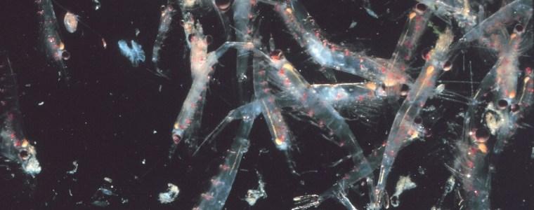Krill auf dem Rückzug