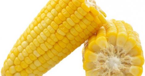 Uitspraak Europees Hof van justitie: België moet ggo-veldproef op mais stopzetten