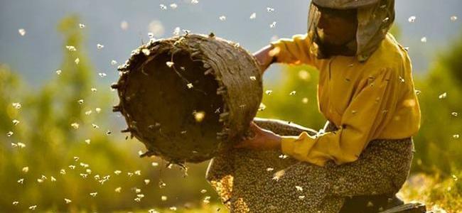 honey-bee-colonies-across-europe-plunge-16%,-says-study