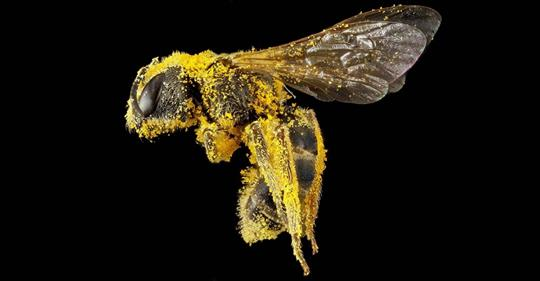 """the-bee:-""""the-most-important-living-being-on-the-planet""""-–-global-research"""