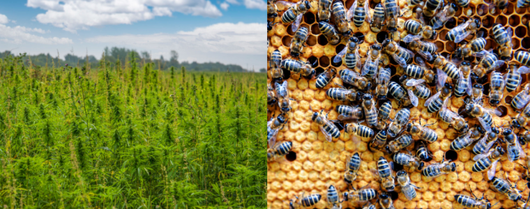 study-suggests-that-planting-more-hemp-could-help-maintain-bee-populations