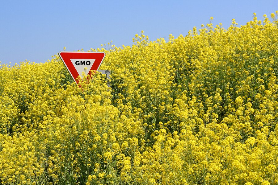 gm-canola-persists-20-years-after-field-trials-ended-in-tasmania-–-global-research