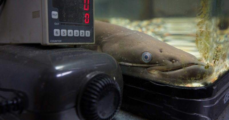 japanese-researchers-use-soybean-compound-to-turn-male-fish-into-females