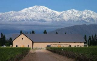 Argentine Vineyard
