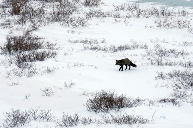 Silver fox in Churchill, Manitoba
