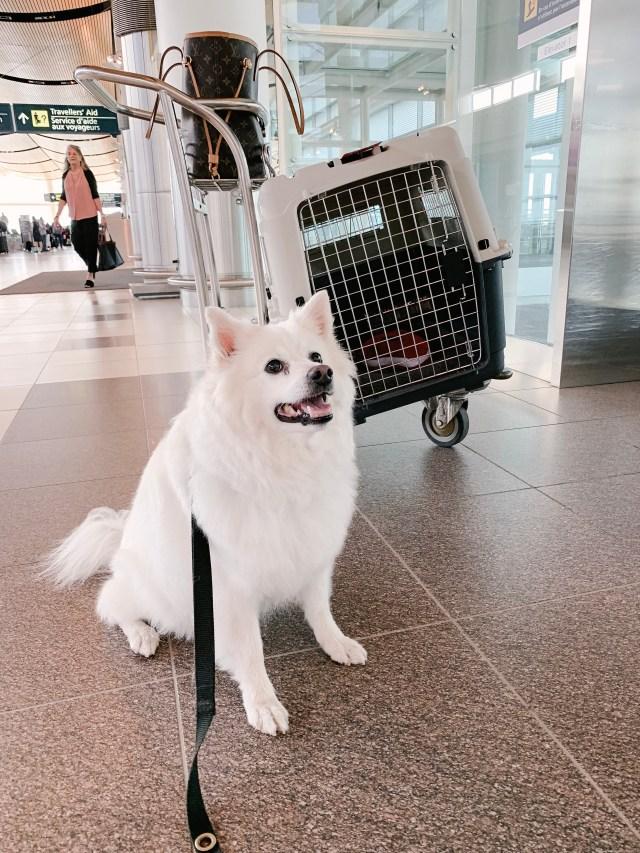 American Eskimo dog at Winnipeg airport