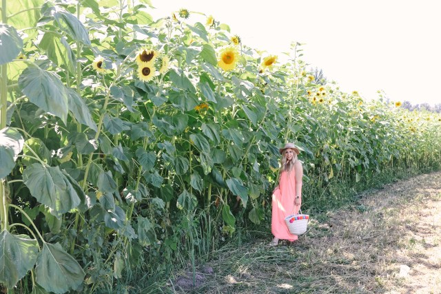 Sunflower field at Eco-Dairy in Abbotsford, BC