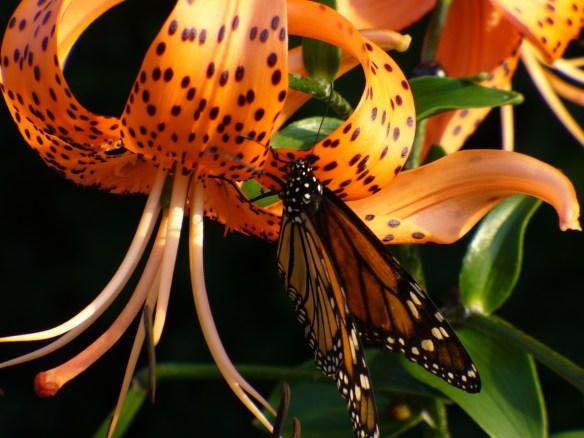 Monarch & Tiger Lily Hamilton Ontario
