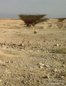 Desert trees