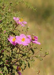 Labdanum flower, Cistus_creticus