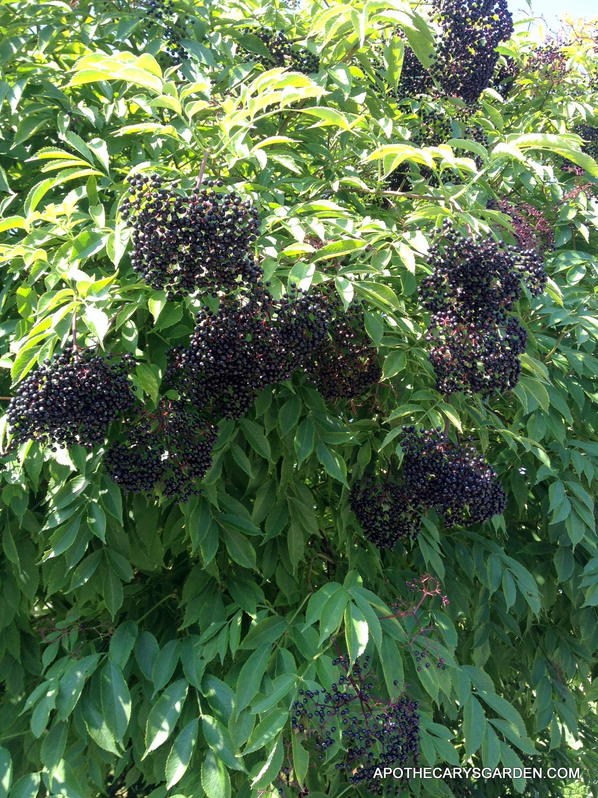 Eldeberry Wine-Perfectly ripe Elderberries-Apothecary's Garden 2013
