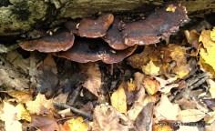 Perhaps toxic shelf mushroom??