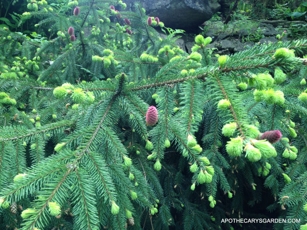 Beautiful-Spruce-Spring-renewal-May-2013