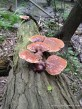 Ganoderma tsugae Ontario