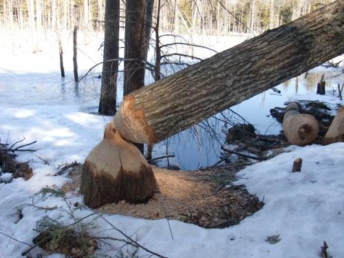Huge oak taken down by beavers.