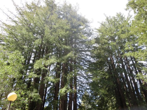 Sequoia Trees at UC Santa Cruz