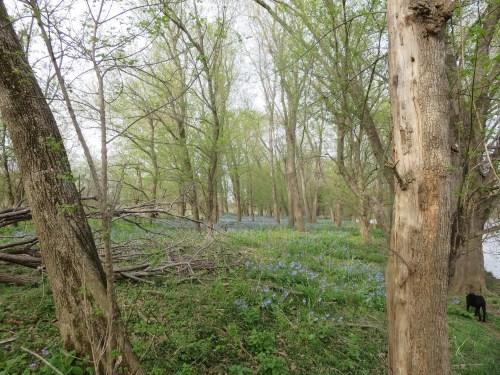 Bluebells in Virginia