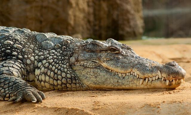 Un crocodile du nil, à proximité des Gites de Montélimar