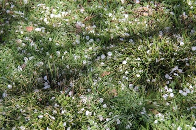 Amandiers en fleurs dans le jardin gite le ventoux à montélimar