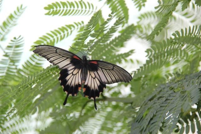 Papillon africain die drome
