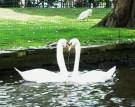 Een zwanenpaar