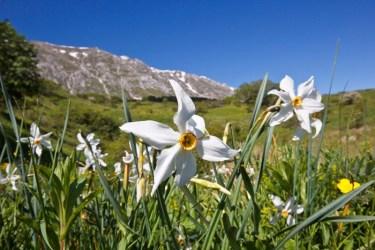 Narcissus-poeticus-AZ200513-087