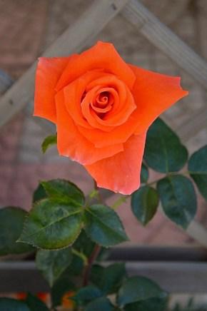 Rose 3 | Photo ©MateldaCodagnone