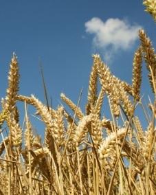 tarwe-oogst