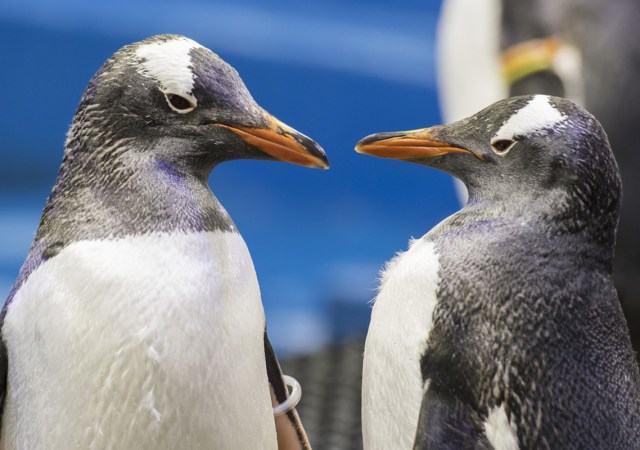 pingüinos gay