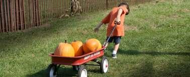 pumpkin harvest is hard work